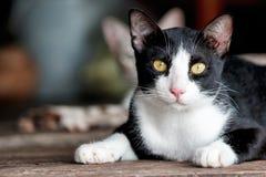Het zwarte & witte kat liggen Stock Fotografie