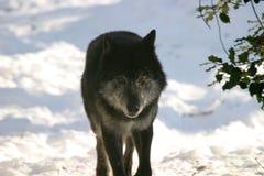 Het zwarte wolf staren Stock Foto's