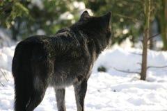 Het zwarte wolf staren Stock Afbeelding