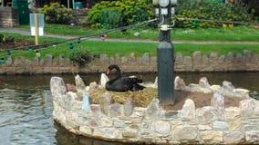 Het zwarte Zwaanvogel Nestelen Royalty-vrije Stock Afbeelding