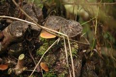 Het zwavelbosje of gegroepeerd woodlover schiet in het bos als paddestoelen uit de grond tijdens de Herfst in het bos royalty-vrije stock afbeelding