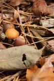 Het zwavelbosje of gegroepeerd woodlover schiet in het bos als paddestoelen uit de grond tijdens de Herfst in capelle aan hol Ijs stock foto