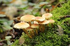 Het zwavelbosje of gegroepeerd woodlover schiet in het bos als paddestoelen uit de grond tijdens de Herfst n Schollenbos in het h royalty-vrije stock afbeeldingen