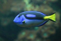 Het zweempje van koningsblauwen stock foto