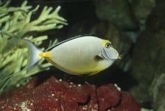 Het Zweempje van Naso van vissen (lituratus Naso) Royalty-vrije Stock Afbeeldingen