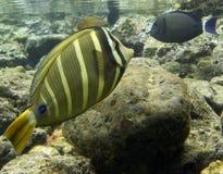 Het zweempje van Sailfin stock afbeeldingen