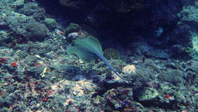Het zwemmen blauwe bevlekte pijlstaartrog bij trawangan gili Royalty-vrije Stock Foto