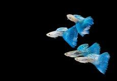 Het zwemmen blauwe guppy Stock Foto