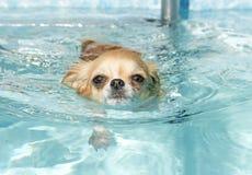 Het zwemmen chihuahua Royalty-vrije Stock Afbeelding