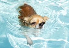 Het zwemmen chihuahua Royalty-vrije Stock Foto's