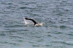 Het zwemmen in de oceaan Stock Foto's