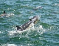 Het zwemmen Dolphns Stock Foto's