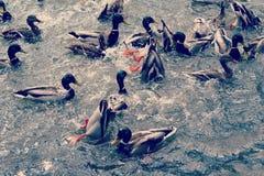 Het zwemmen en het duiken eenden Royalty-vrije Stock Foto's