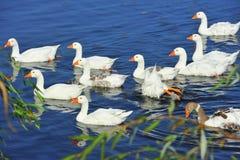 Het zwemmen ganzenvorming royalty-vrije stock foto's