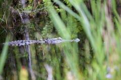 Het zwemmen Gator royalty-vrije stock foto's