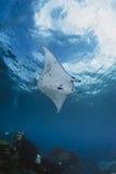 Het zwemmen Manta Ray onder water op blauwe achtergrond Stock Foto