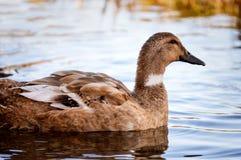 Het zwemmen in Sereniteit Royalty-vrije Stock Afbeeldingen
