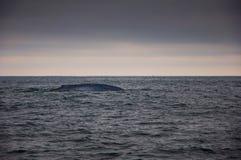 Het Zwemmen van de Blauwe vinvis Royalty-vrije Stock Foto's