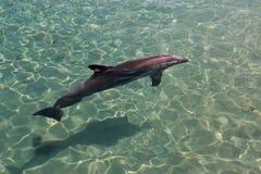 Het zwemmen van de dolfijn Royalty-vrije Stock Afbeeldingen
