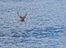 Het Zwemmen van de Elanden van de stier Stock Fotografie