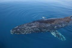 Het zwemmen van de Gebochelde van de walvis stock fotografie