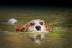 Het zwemmen van de hond Royalty-vrije Stock Foto