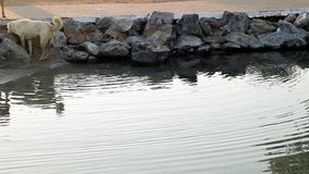 Het zwemmen van de hond stock videobeelden