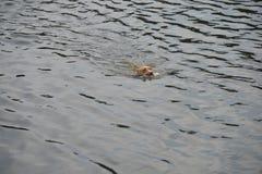 Het zwemmen van de hond Stock Afbeeldingen
