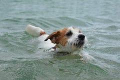 Het zwemmen van de hond HET LEUKE JACK RUSSELL-PUPPY SPELEN OP WATER DIE VAN DE ZOMER GENIETEN royalty-vrije stock afbeelding