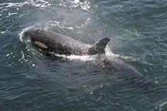 Het Zwemmen van de orka stock afbeeldingen