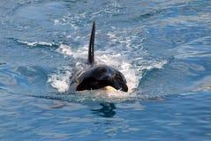 Het zwemmen van de orka stock foto's