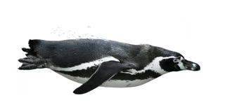 Het zwemmen van de pinguïn stock afbeeldingen