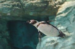 Het zwemmen van de pinguïn stock foto