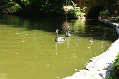 Het zwemmen van een zwarte zwaan in Sofiyivsky-Park Botanisch Tuinarboretum in Uman, Cherkasy Oblast, de Oekraïne Stock Foto's
