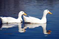 Het zwemmen van het Paar van de Gans van de sneeuw royalty-vrije stock foto