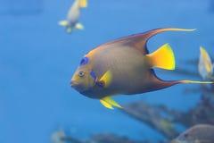 Het zwemmen van koningin Angelfish Stock Afbeelding