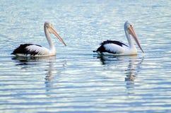 Het zwemmen van pelikanen stock fotografie