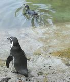 Het zwemmen van pinguïnen stock afbeeldingen