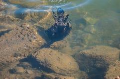 Het zwemmen voor zijn Avondmaal Royalty-vrije Stock Foto