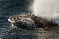 Het zwemmende gezicht van de walvis - omhoog Stock Foto
