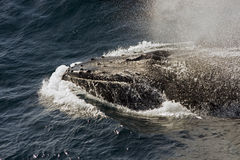 Het zwemmende gezicht van de walvis - omhoog Royalty-vrije Stock Afbeelding