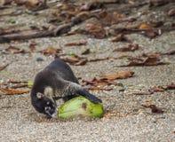 Hetbesnuffelde coati drinken van een kokosnoot Drake Bay Views rond Costa Rica Royalty-vrije Stock Afbeeldingen