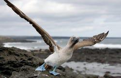 Hetbetaalde domoor opstijgen De eilanden van de Galapagos vogels ecuador Royalty-vrije Stock Foto