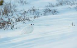 HetDe steel verwijderde van Ptarmigan Mengen in Snowfield in de Colorado Rockies stock fotografie