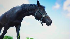 Hete adem die damp worden wanneer het komen uit uit paard` s neusgaten Sterke hengst blazende lucht stock videobeelden