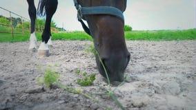 Hete adem die damp worden wanneer het komen uit uit paard` s neusgaten Sterke hengst blazende lucht stock video