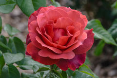 Hete Cacao Rose Flower royalty-vrije stock fotografie