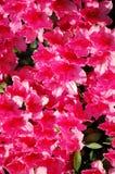 Hete Roze Bloemen Royalty-vrije Stock Afbeeldingen