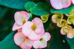 hete roze cactusbloem in een cactus royalty-vrije stock afbeeldingen