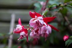 Hete roze fuchsia Royalty-vrije Stock Afbeelding
